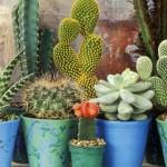 piante grasse pl